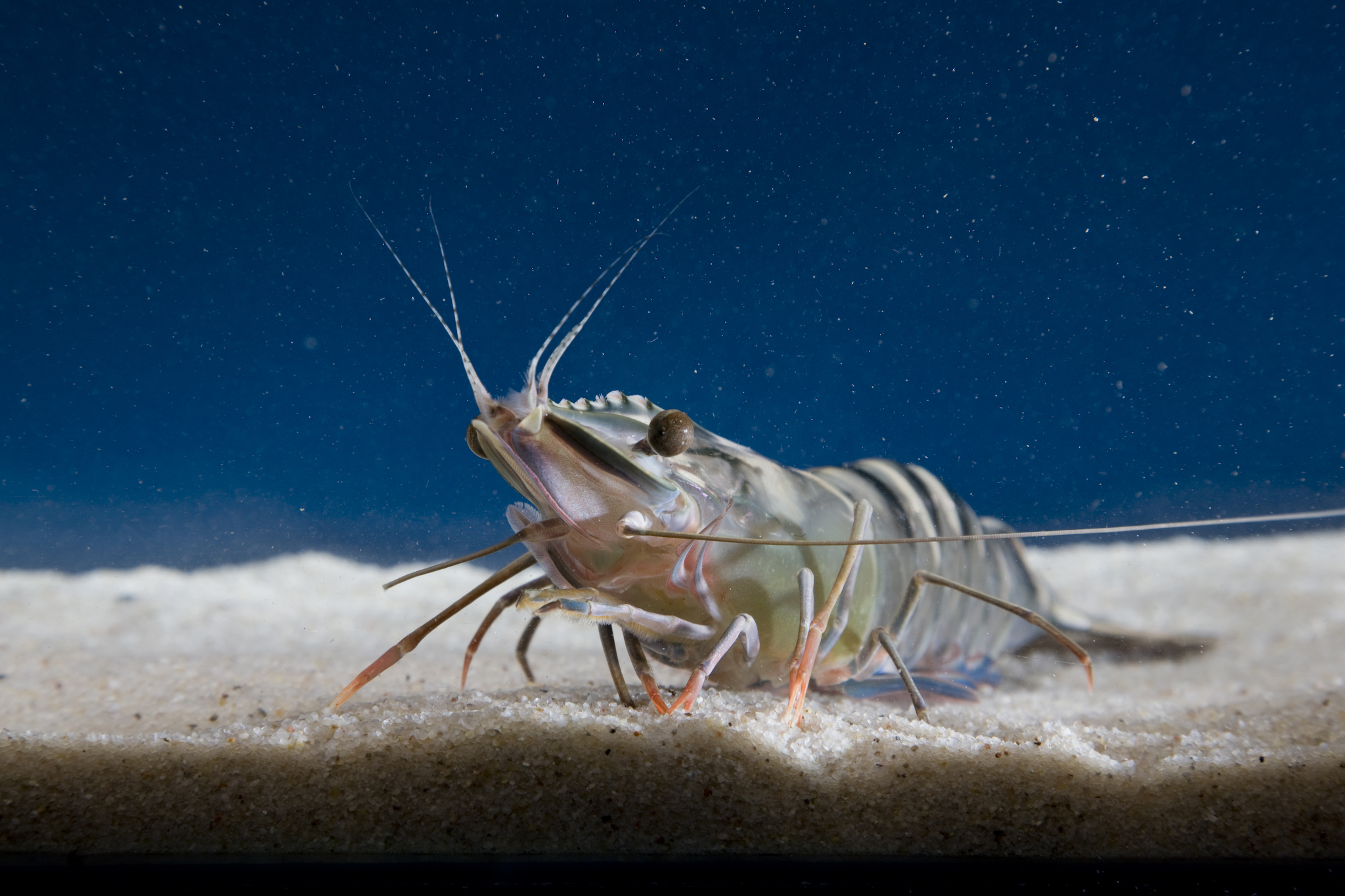 Farmed black tiger prawn in aquarium.