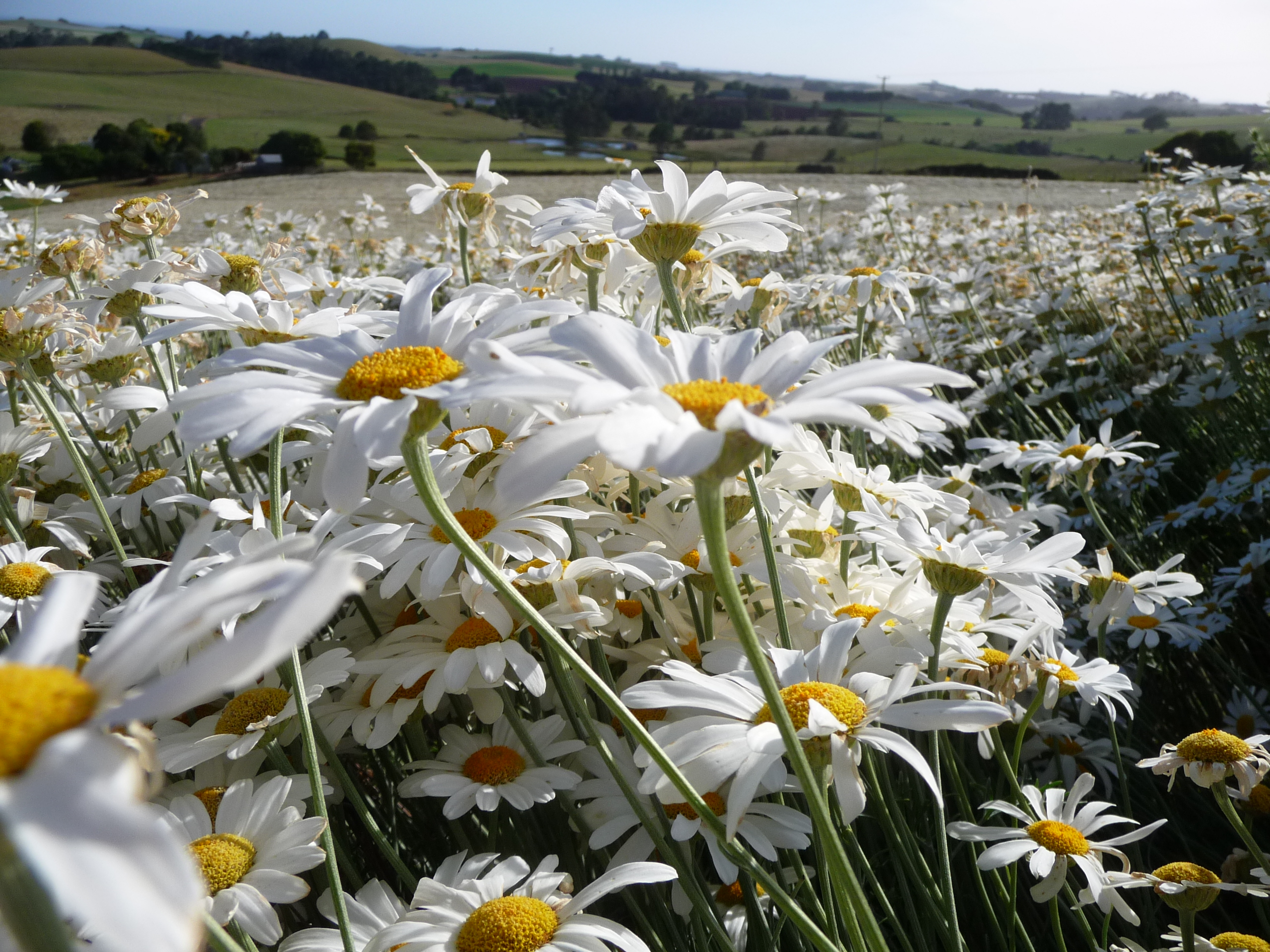 Image of a field of pyrethrum daisy plants in flower.
