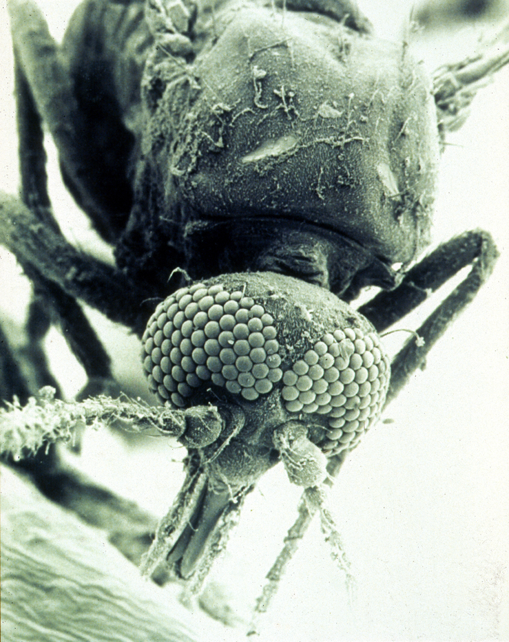 Scanning electron micrograph of a biting midge (Culicoides brevitarsis)