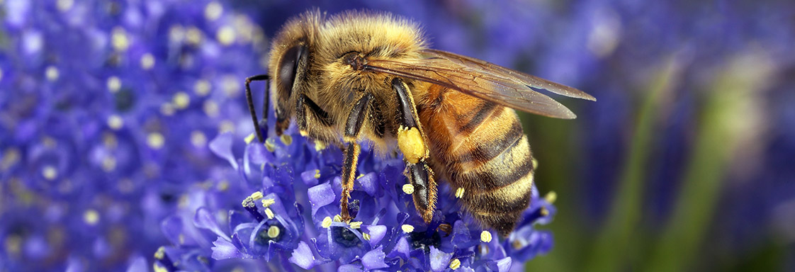 Close up of a bee feed from a purple flower, the bee's legs are covered in pollen