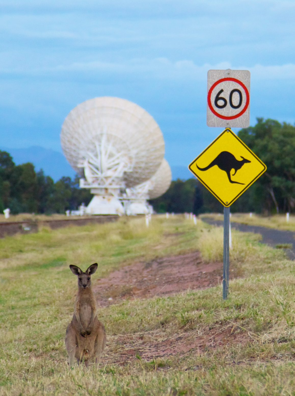 A seated kangaroo facing the camera in the foreground, a sign depicting a '60' speed zone and kangaroos crossing in the midground, and the back of two large white telescope dishes in the background.