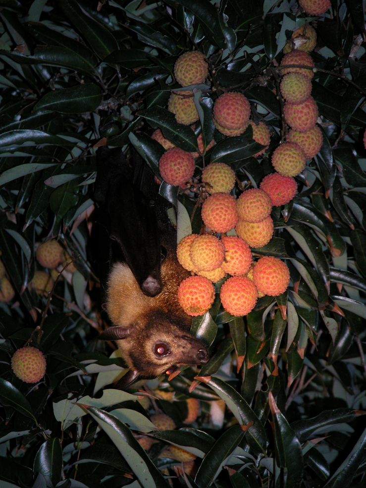 Little brown bat hanging upside down in lychee tree clinging to a bunch of orange fruit
