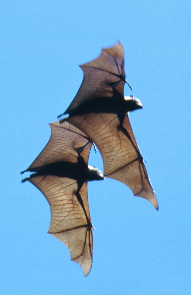 Two bats, wings at full span, as they glide in a bright blue sky.