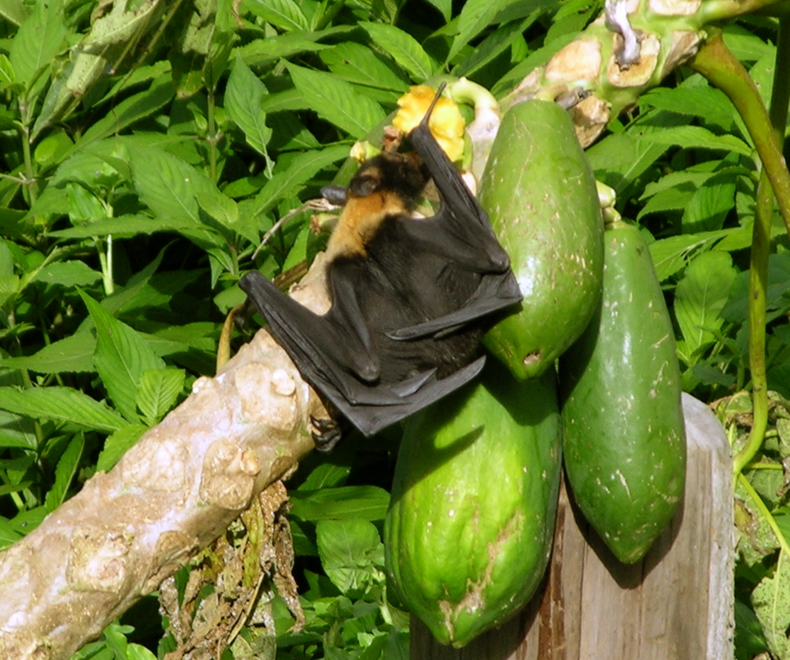 Bat venturing out in daylight to feed on papayas.