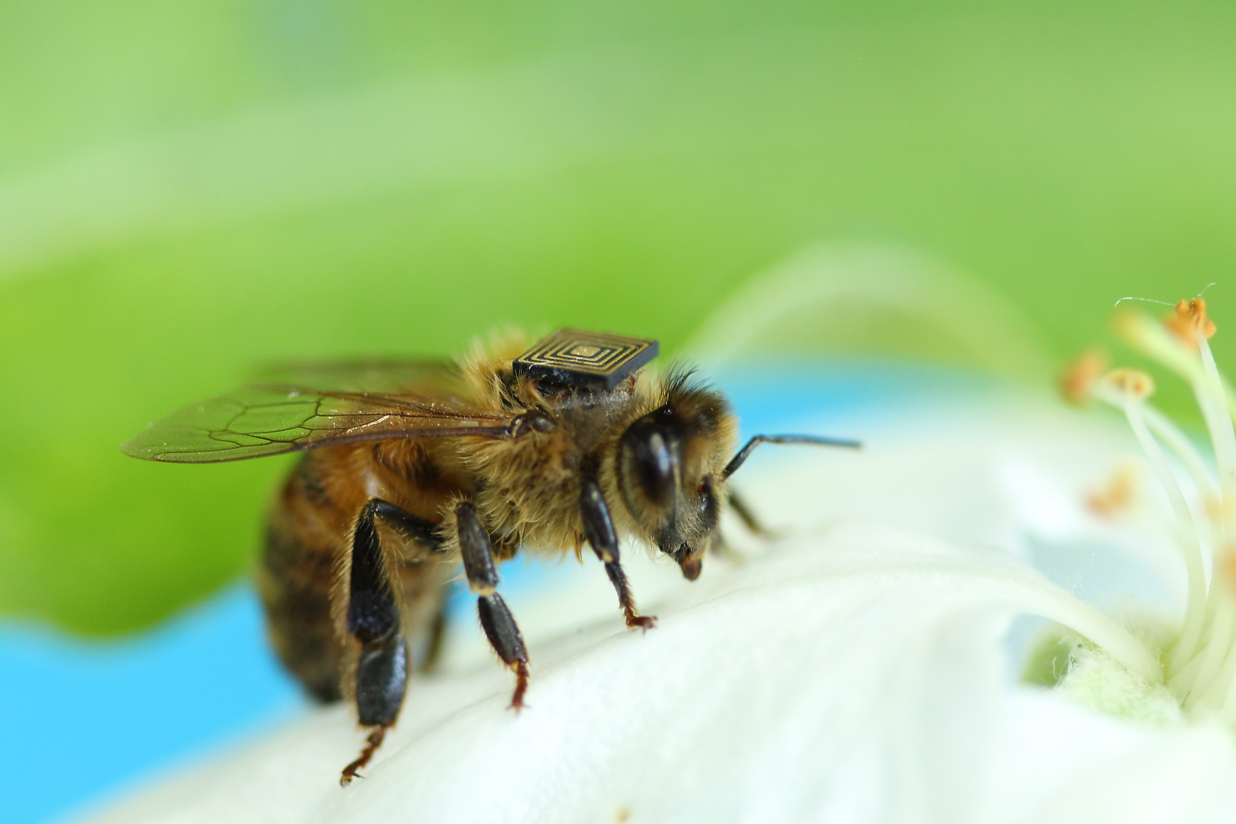 "close shot of bee on white flower, wearing tiny mircochip ""back pack"""