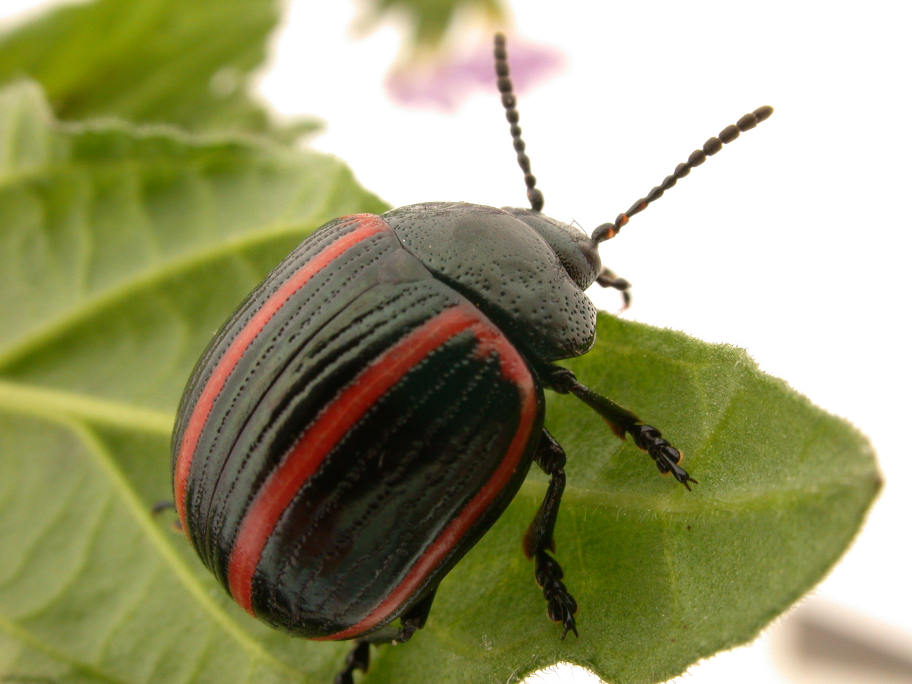 Round black beetle with red markings crawling on green leaf