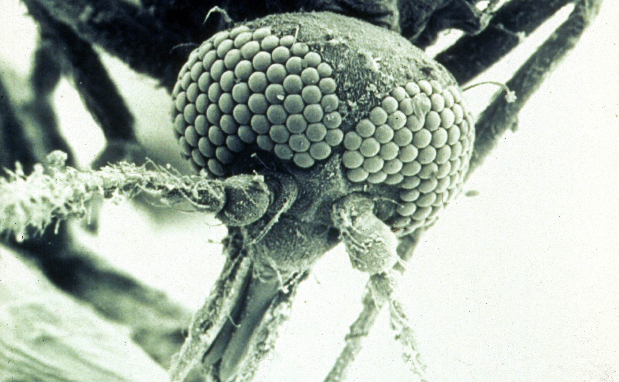 A black and white microscope image of a biting midge's head with faceted eyes and proboscis.