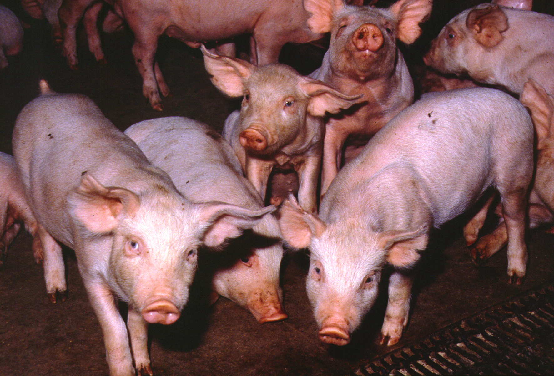 A group of pink pigs in a holding pen