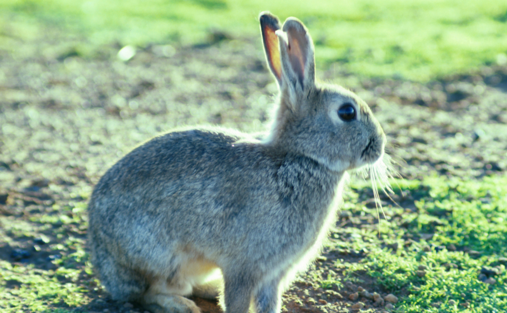a fluffy grey rabbit sitting on a grassy patch