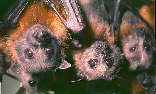 Five little black and ginger coloured bats with big brown eyes hanging upside down
