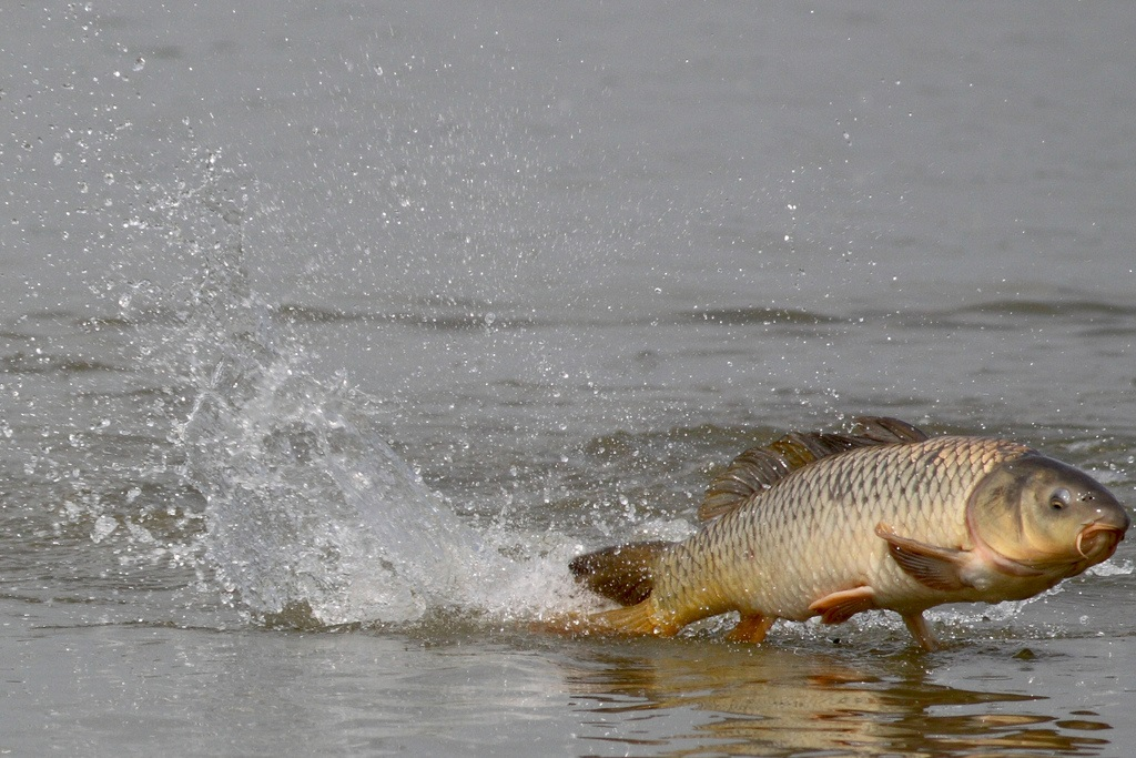A brown and gold coloured carp (large fish) skims across the top of a grey waterway leaving a trail of splashing water behind it