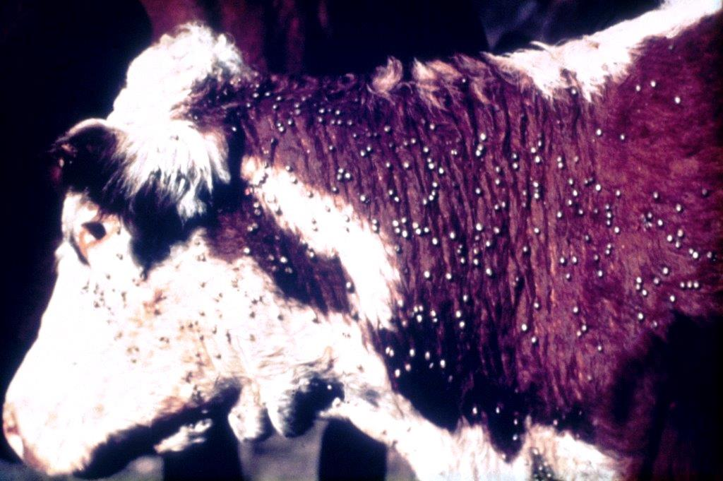 close up of brown and white cow (head & shoulder) covered in hundreds of ticks