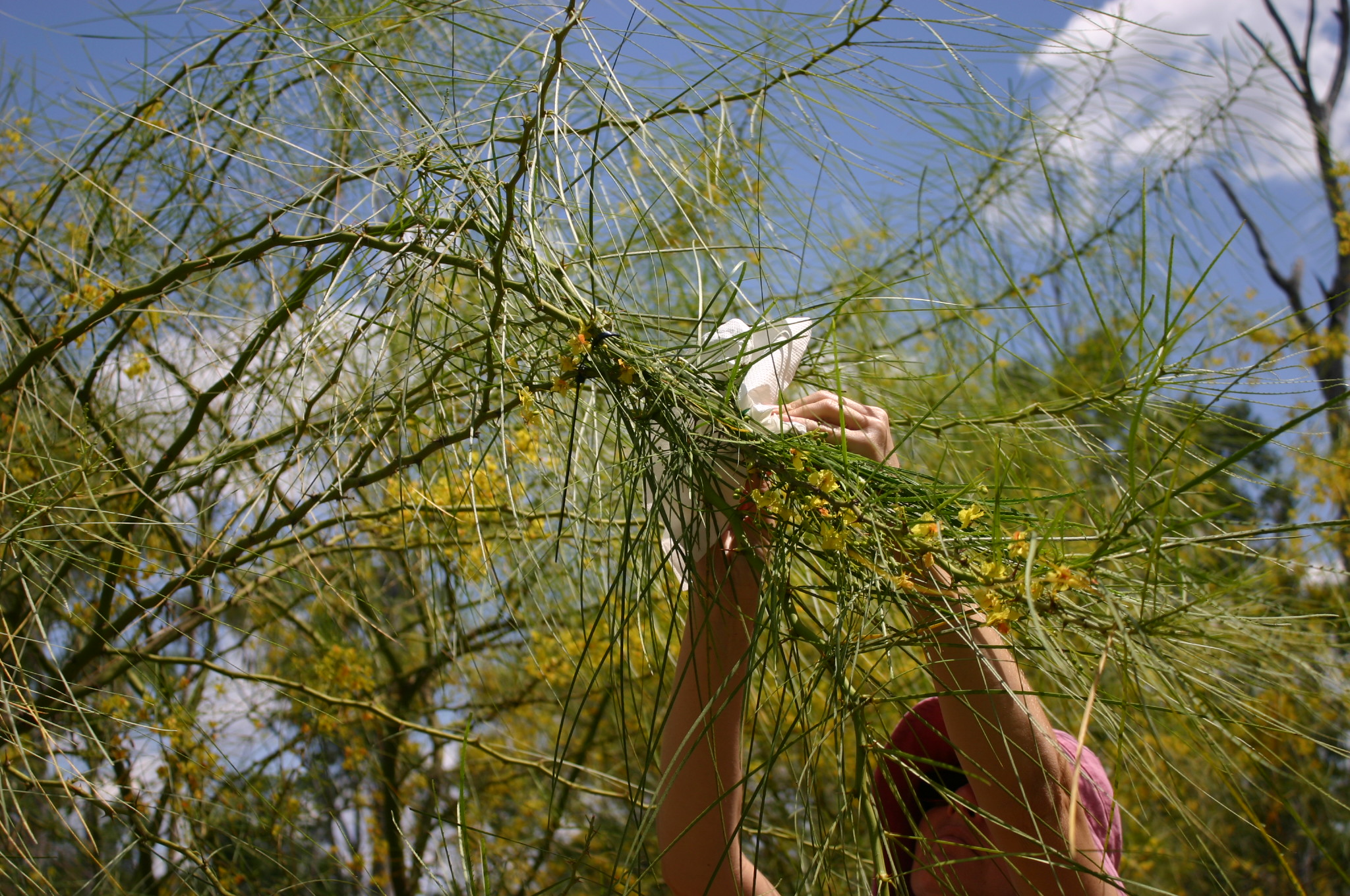 A person reaching up into a Parkinsonia tree to release the larva of a biological control insect.