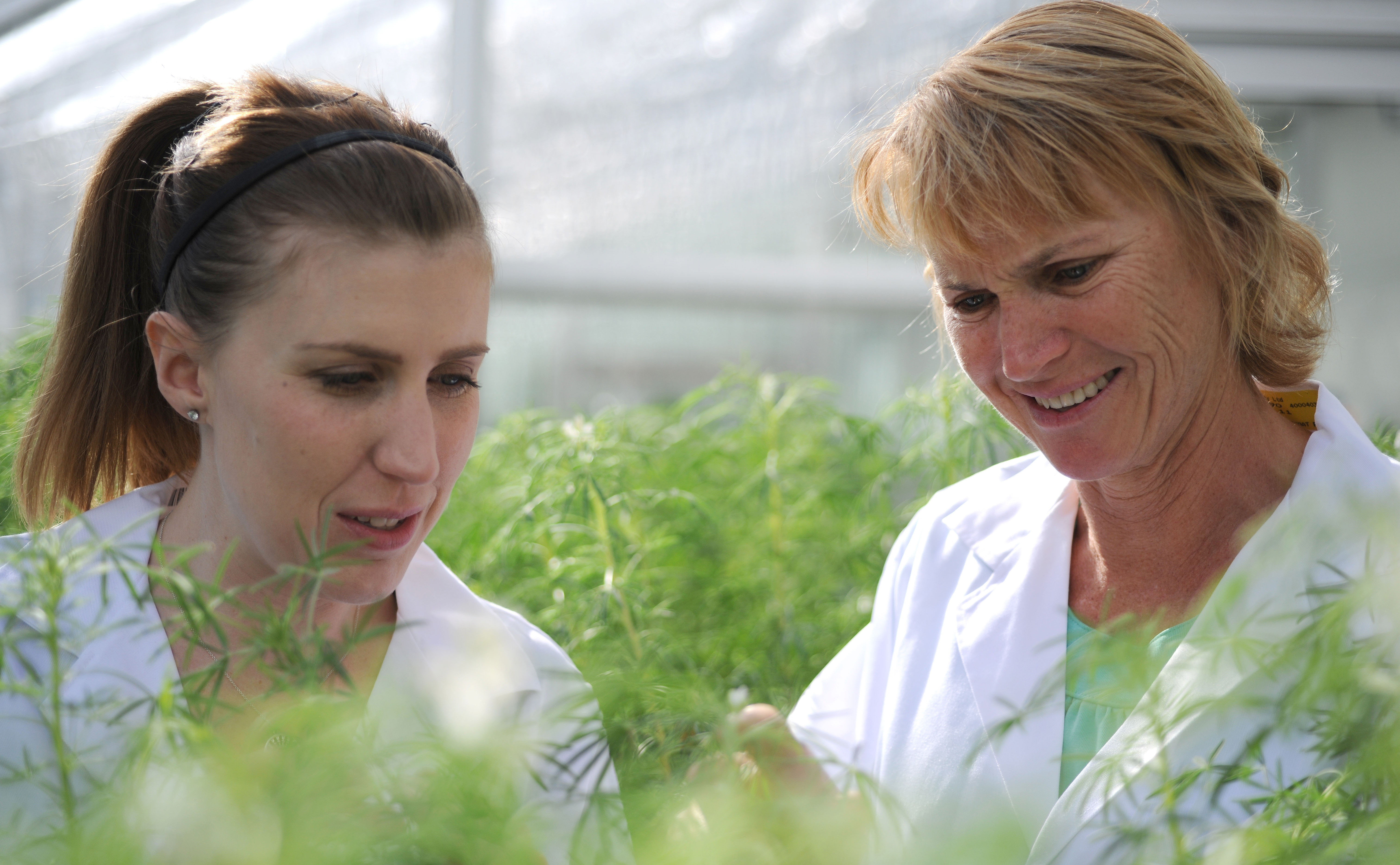 Hayley and Rhonda, two CSIRO scientists, with lupins in a glasshouse