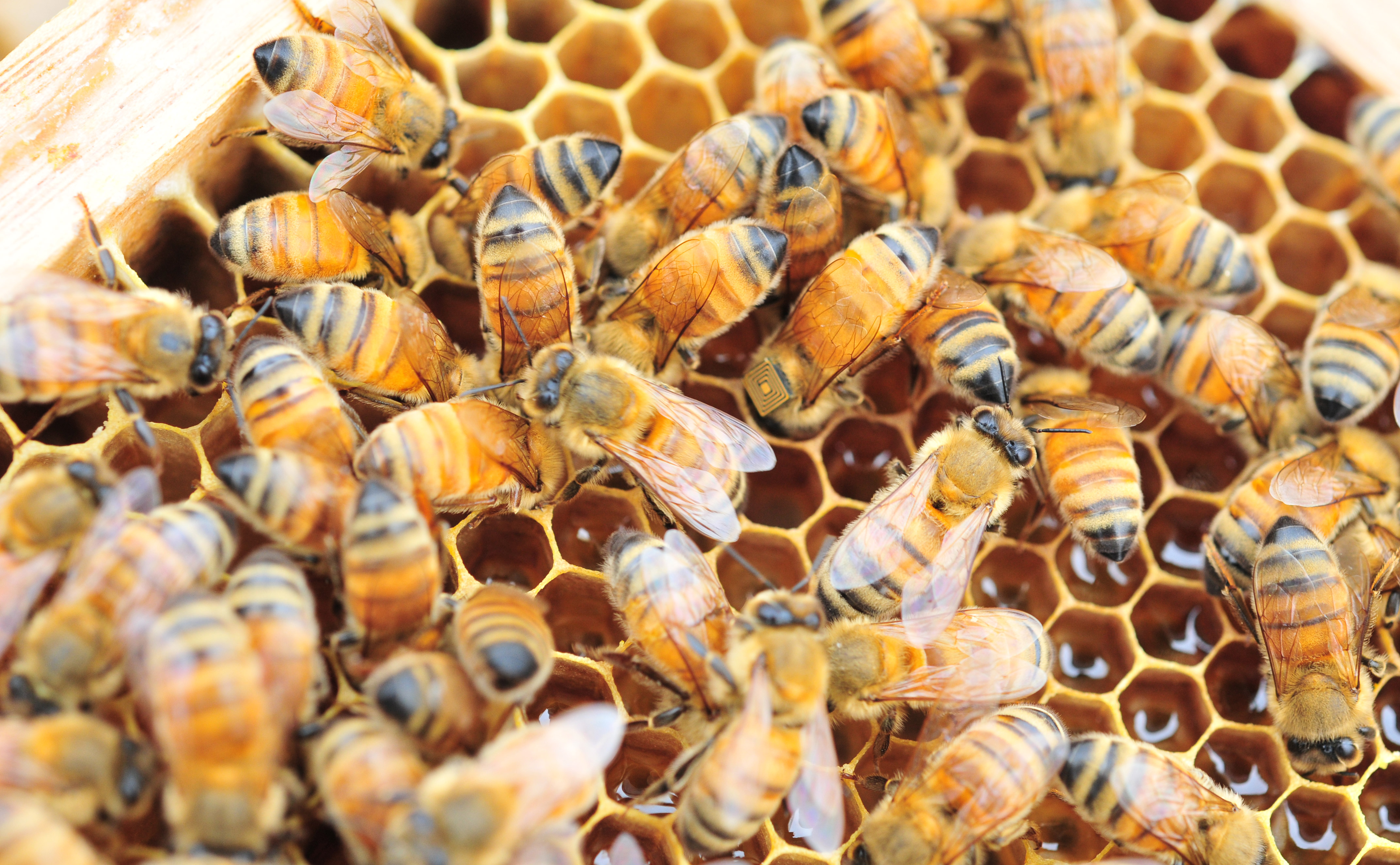 Honey bees fitted with sensors