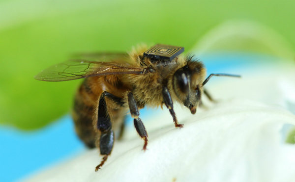A honeybee with a microsensor attached
