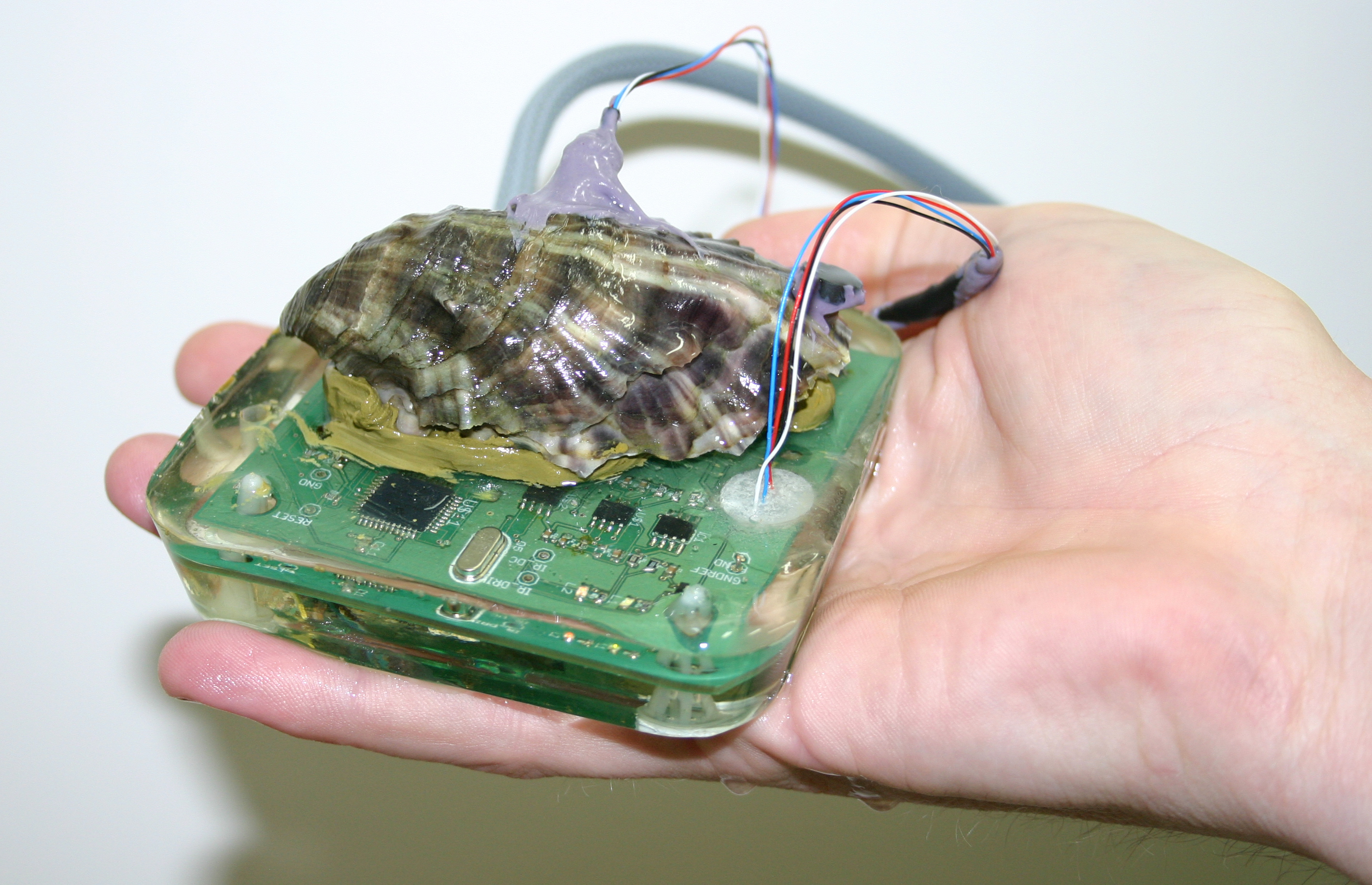 Oyster shell attached to a bio-sensor system held in the palm of a hand.