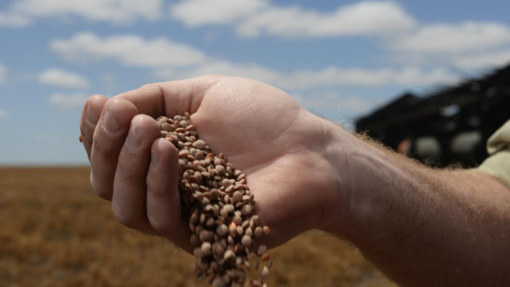 Hand holding faba beans