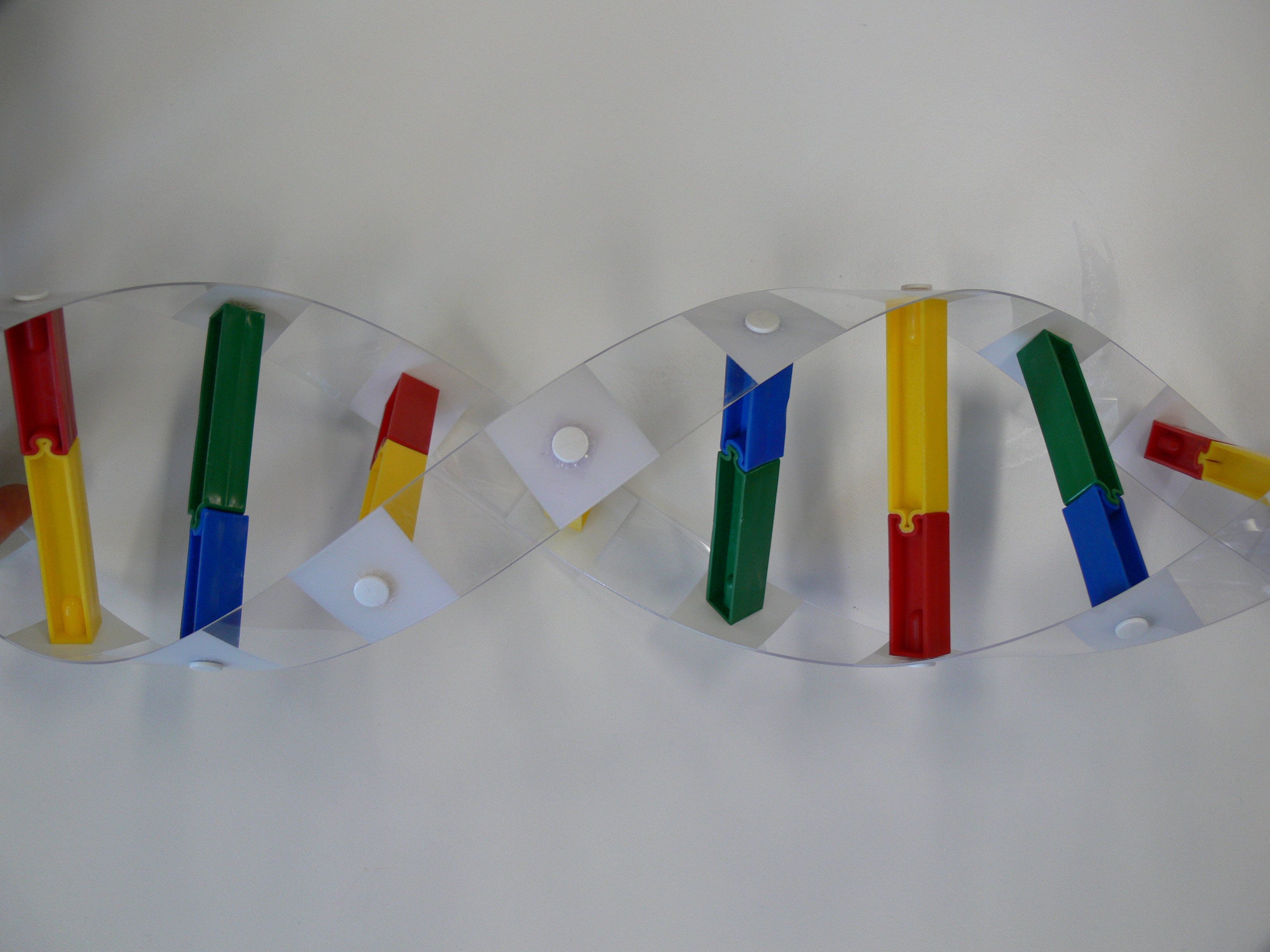 plastic model of double helix DNA strand