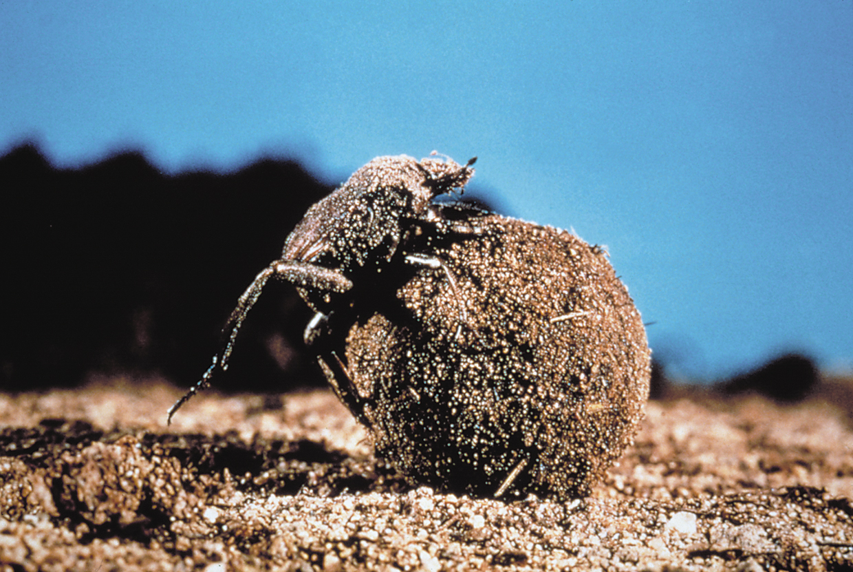 dung beetle with dung it has rolled into a ball
