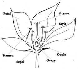 flower cross section drawing with petal, stamen, sepal, ovary, ovule, style and stigma labelled