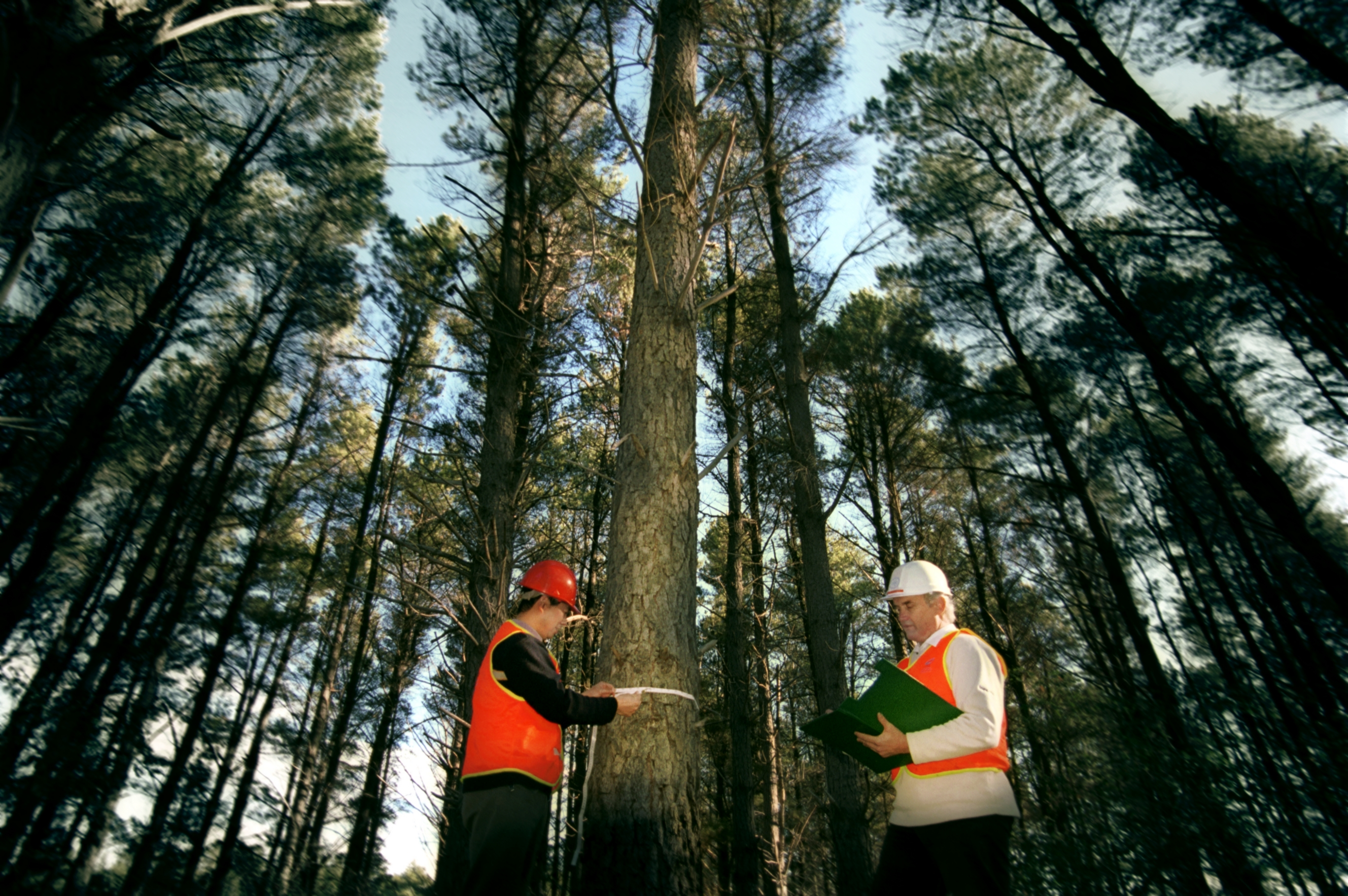 Two people standing in radiata pine forest, one person using flexible tape measure to measure around the girth of the radiata pine tree, the other person is recording data in the open clipboard.