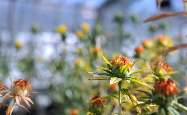 Safflowers plants in a glasshouse.