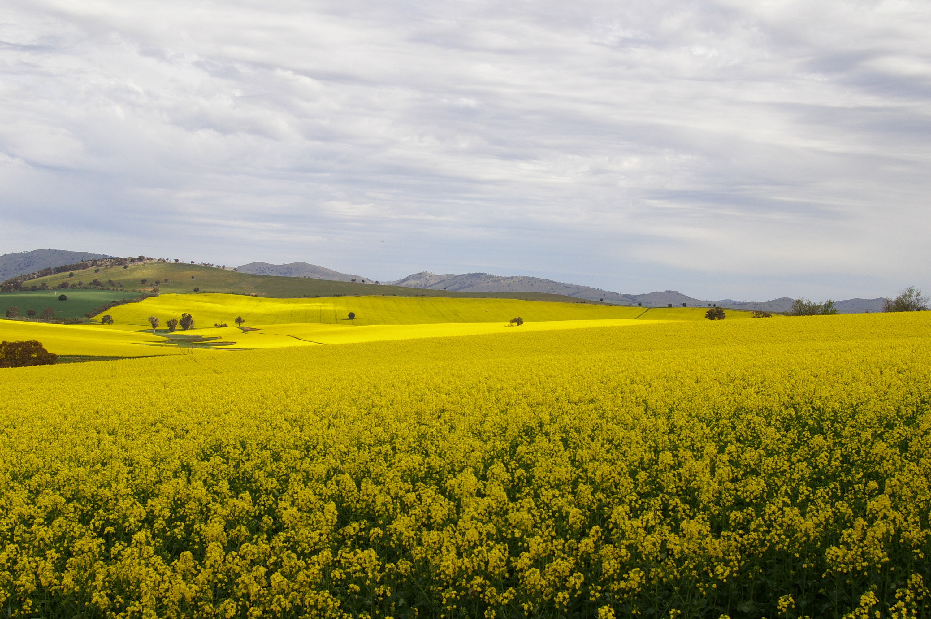 landscape photo of fields and hills covered in canola in full bright yellow bloom, under a grey-blue cloudy sky.