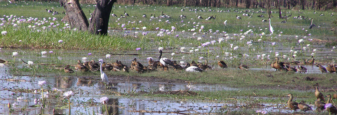 Water birds in wetlands