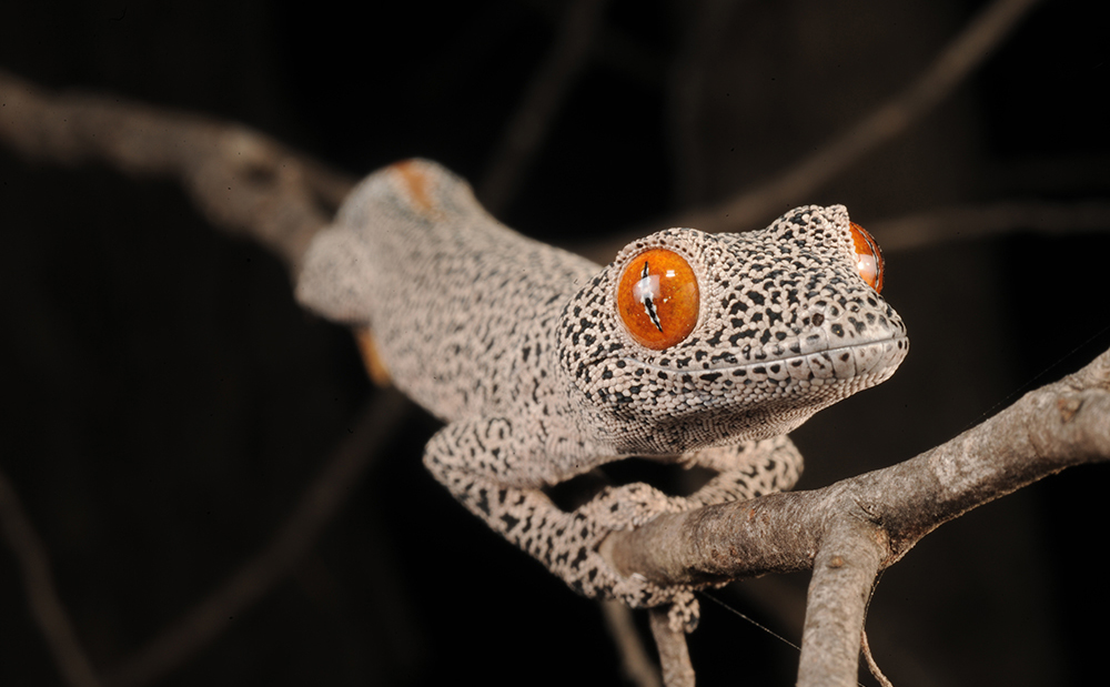 A black and white specked gecko with bright orange eyes