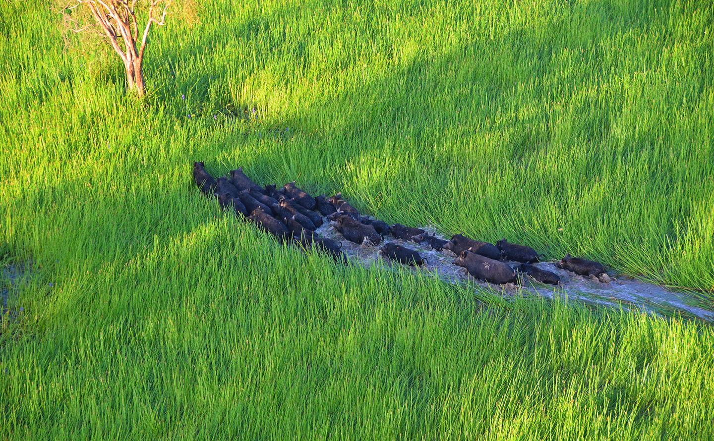 pigs wading through grassy wetland