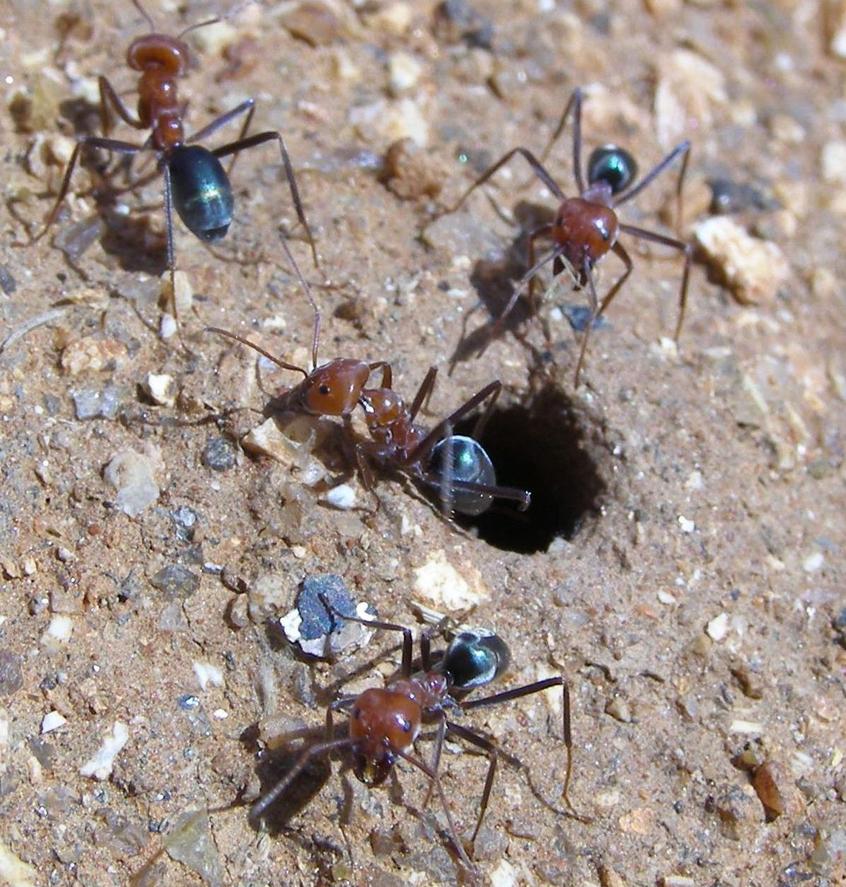 Black ants coming out of a hole in the ground