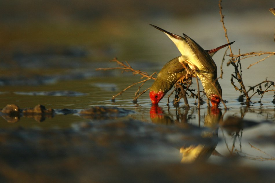 Two Star Finches stand on branch, dipping heads into water.