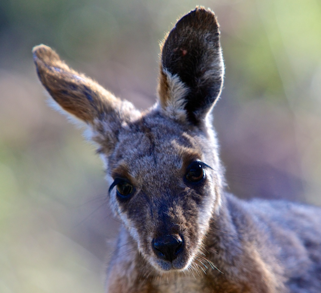 The face of a wallaby close up