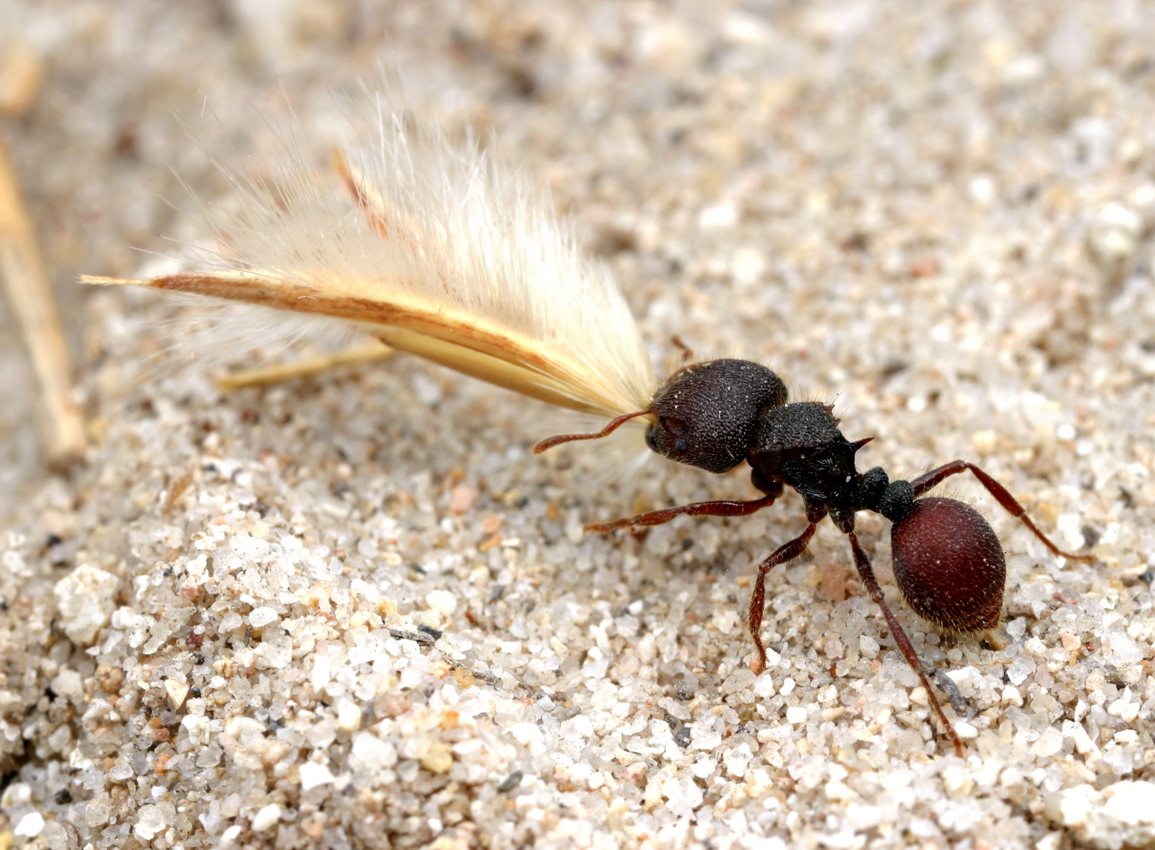 Ant carrying a seed