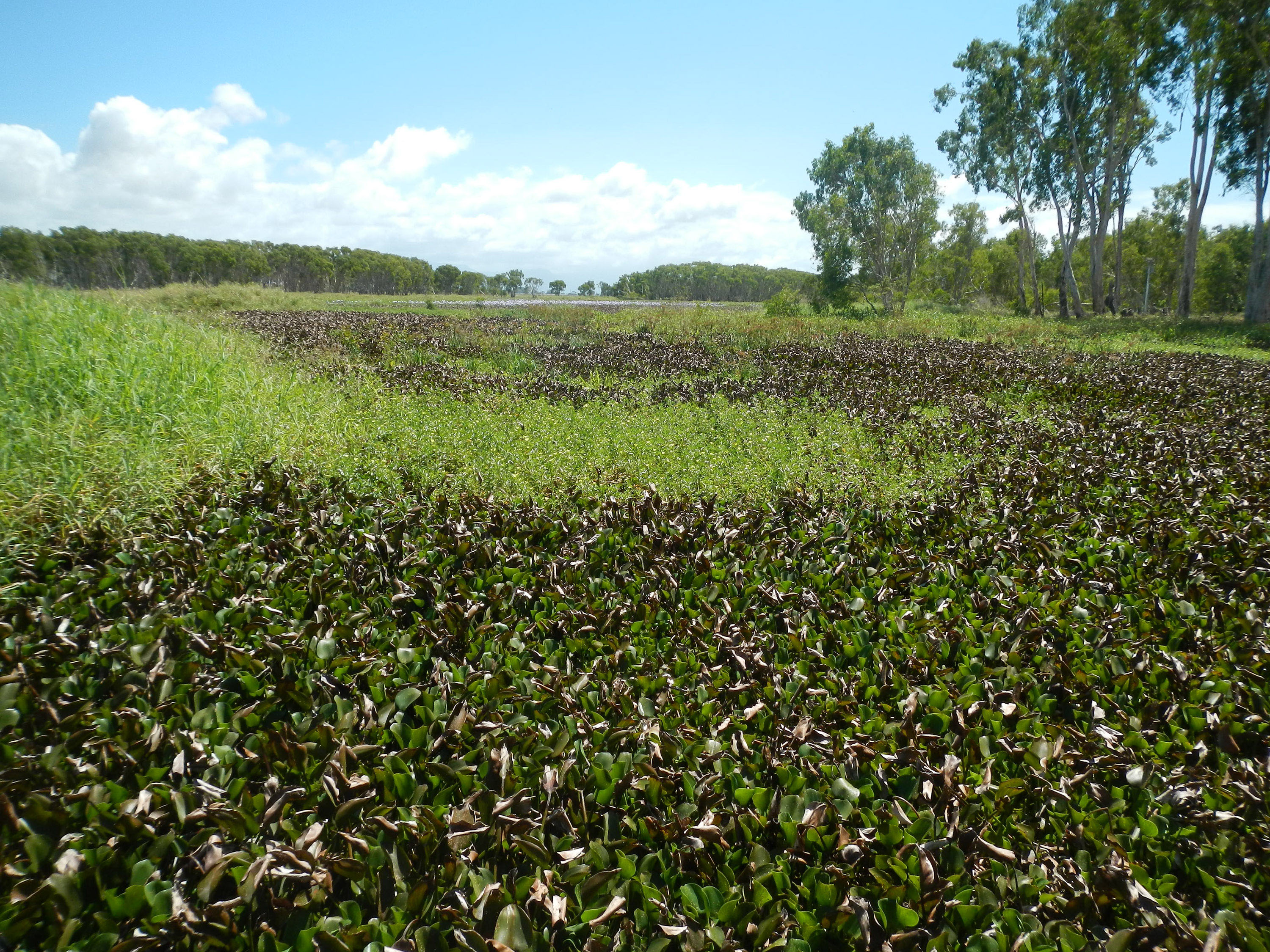 Terrible weed infestation above the wall at Mungalla wetlands, Ingham Queensland.Picture taken mid 2013.