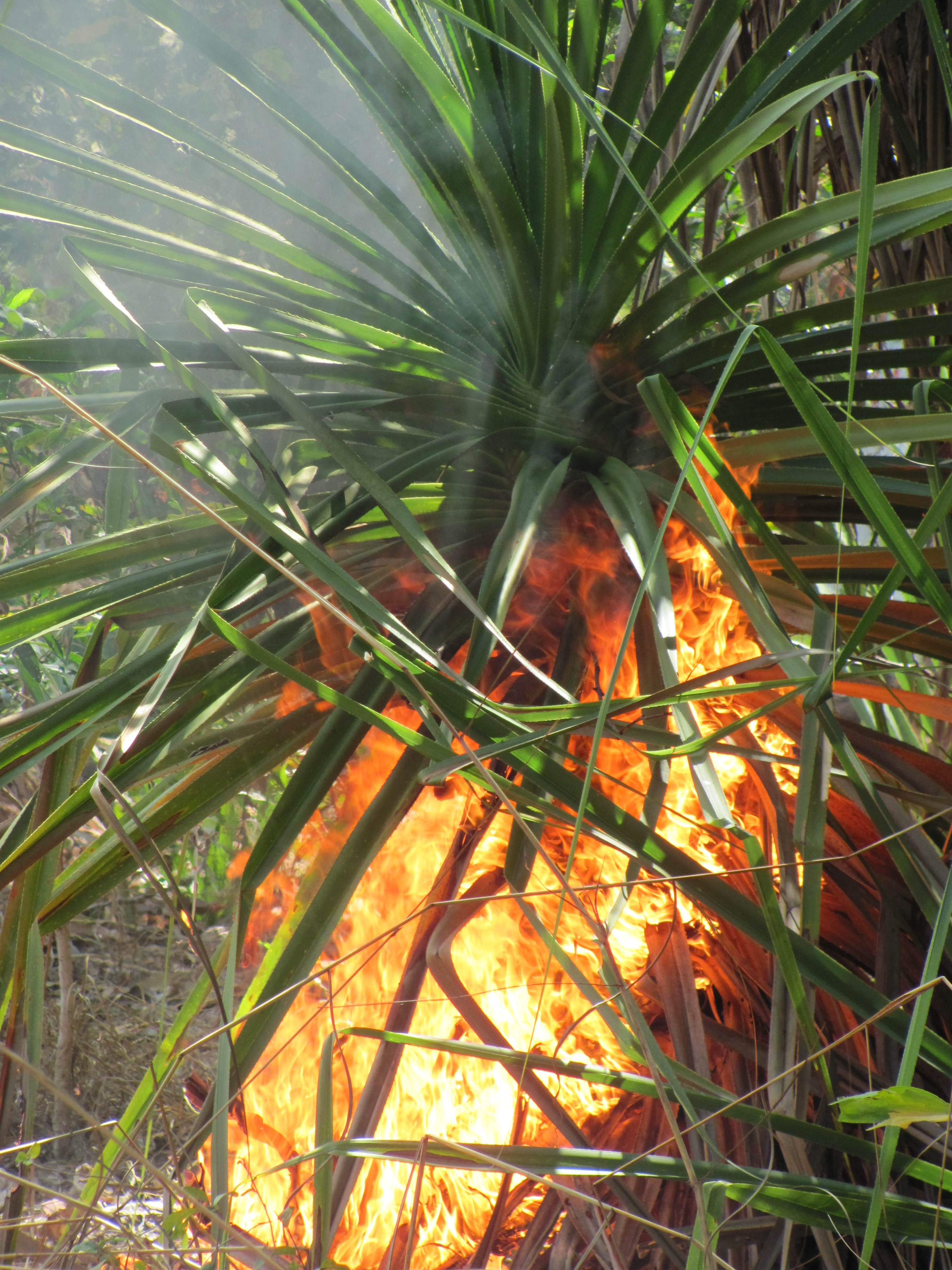 Close up of tropical savanna plant on fire