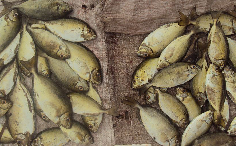 Yellowish coloured fish laying on a hessian sack