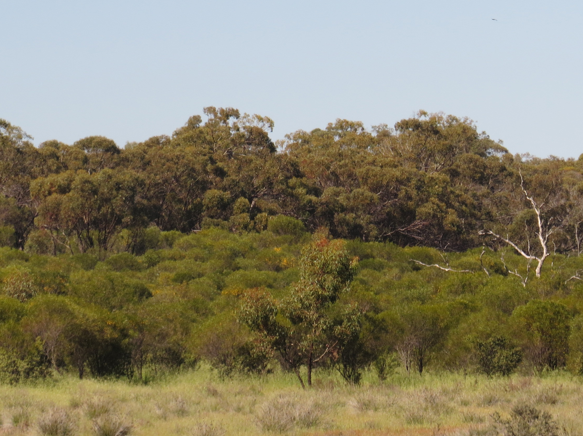 Three layers of vegetation - sandalwood in the background, jam in the mid ground and grassland in the foreground