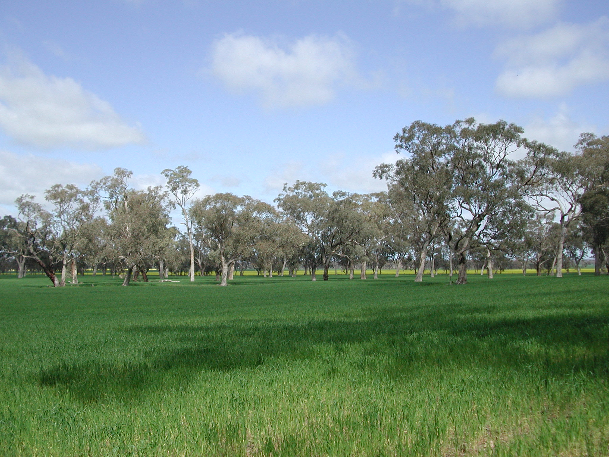 Green wheat crop with eucalypt trees