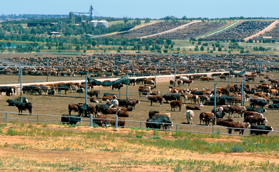 Cattle behind fences in numerous feedlot yards
