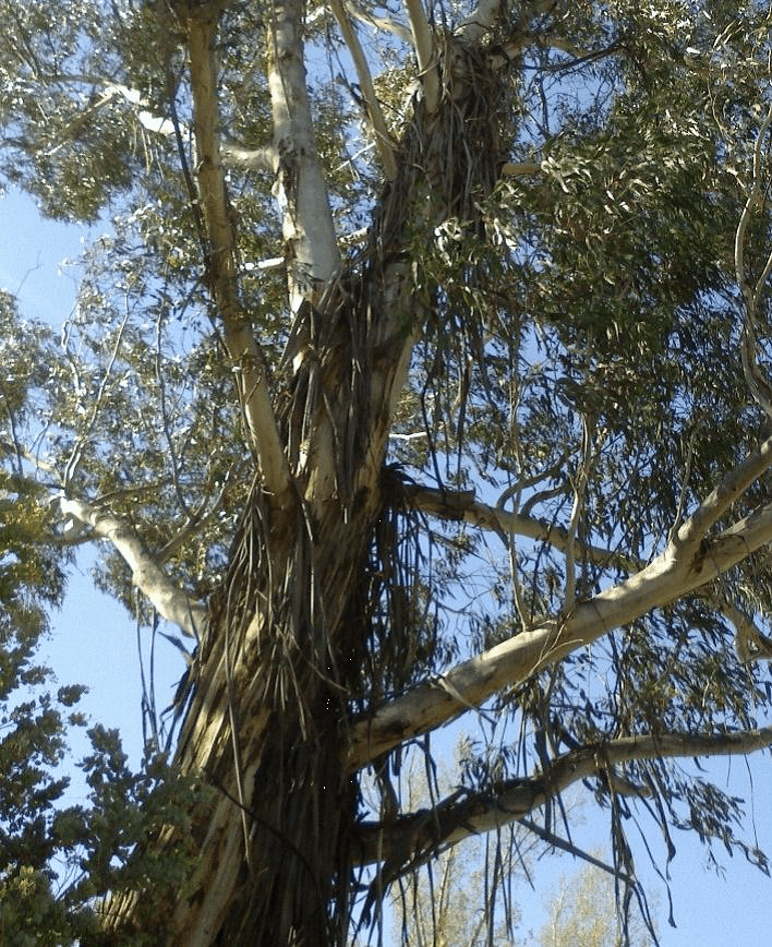 ribbons of bark hanging from the high branches of a gum tree