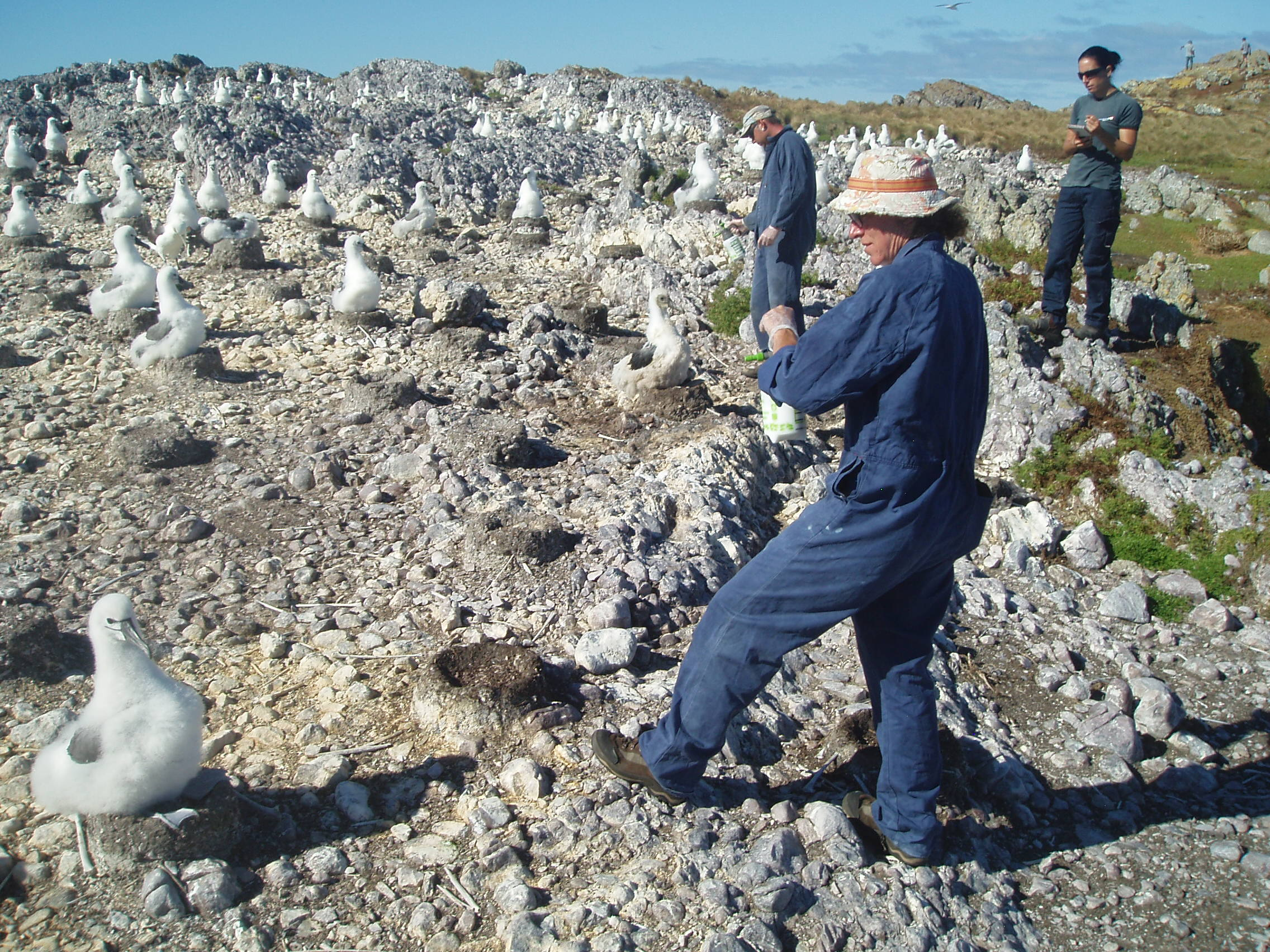 Three researchers on a rocky outcrop taking notes among albatrosses