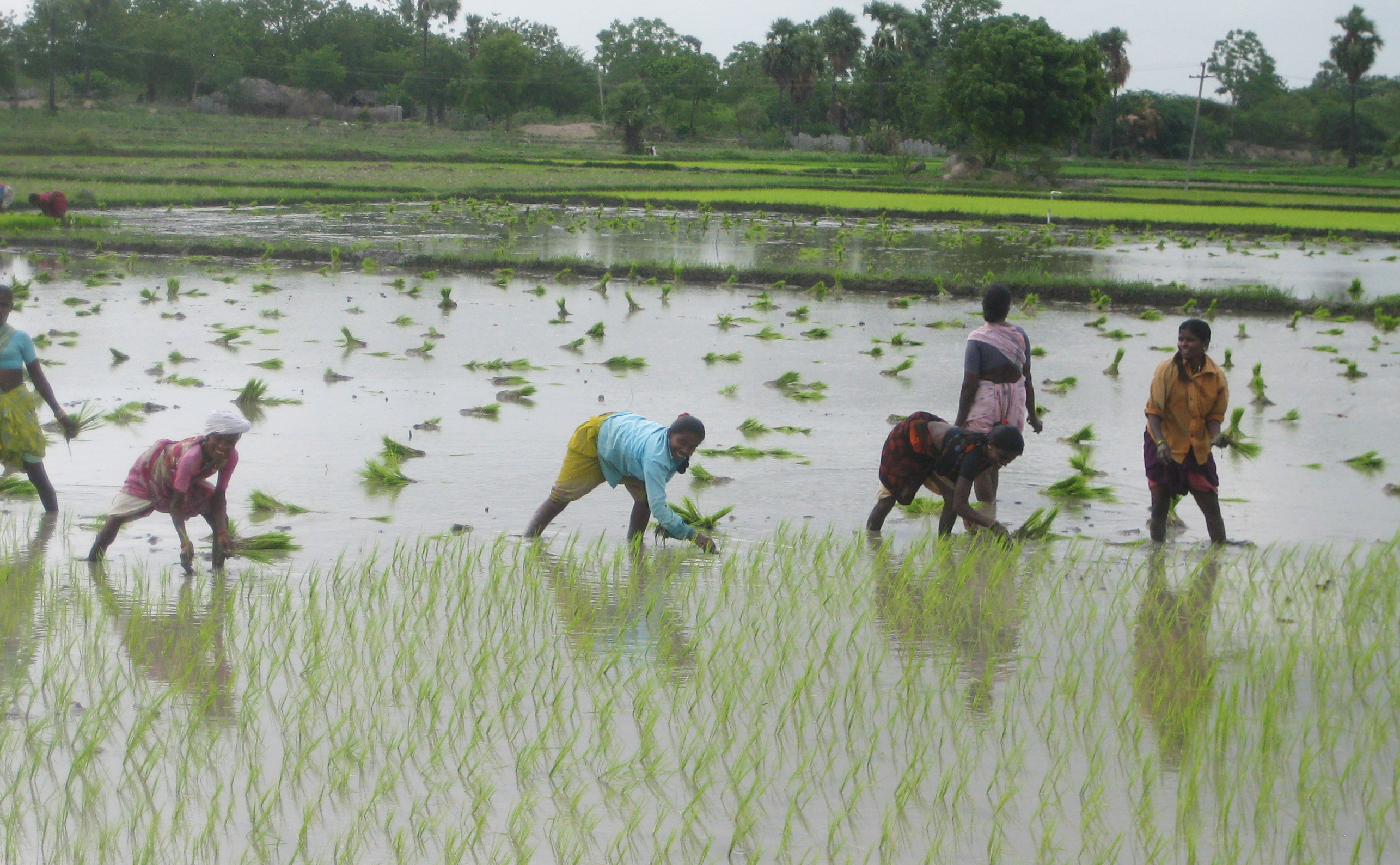 Indian locals plant pasture in well irrigated landscape