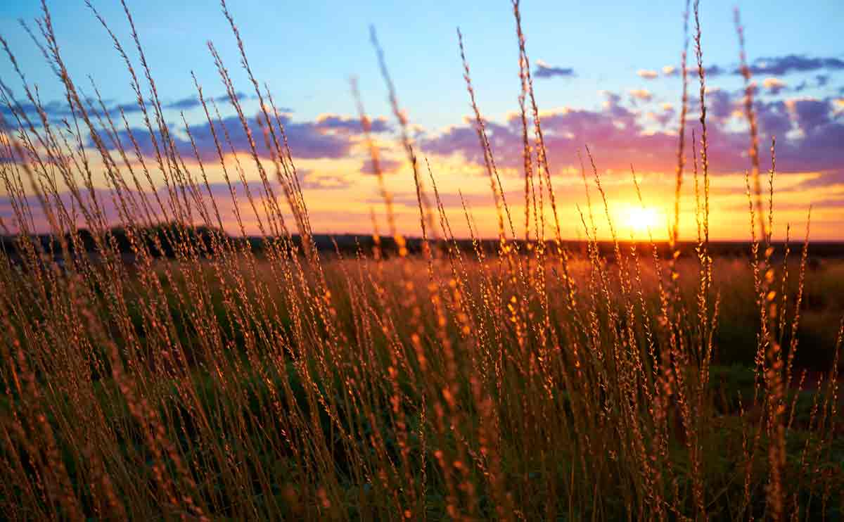 Close up landscape of outback grasses at sunset