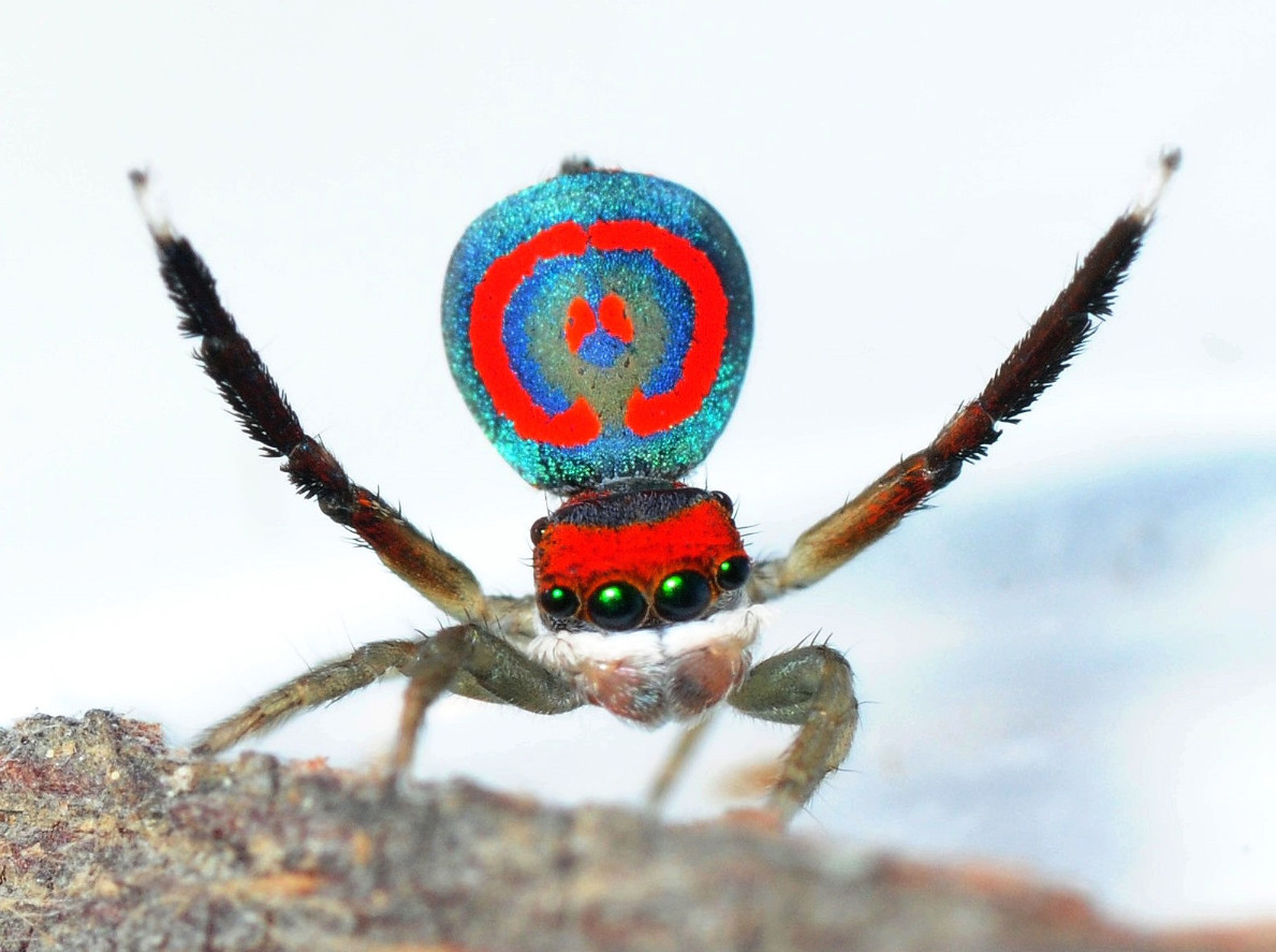 A close-up view of a spider showing its blue and red body and red head with four large dark eyes looking at the camera. it is holding two of its legs in the air, like waving.