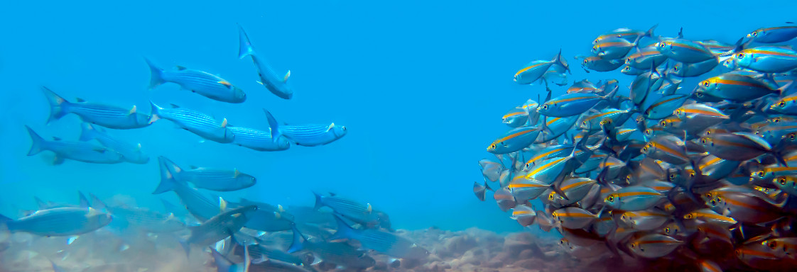 A school of blue and gold striped fish swimming on the right and a smaller school of blue fish on swimming on the left