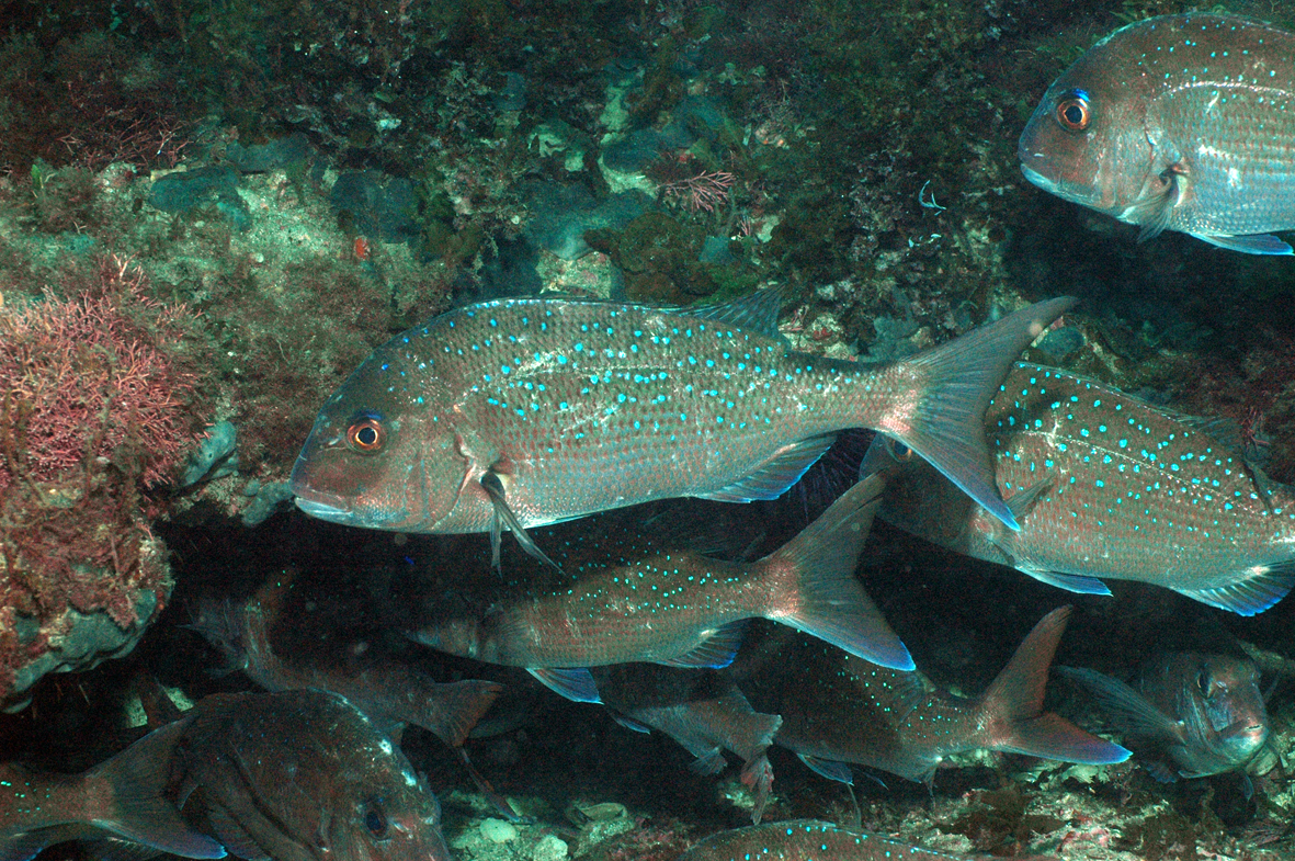 Snapper fish underwater