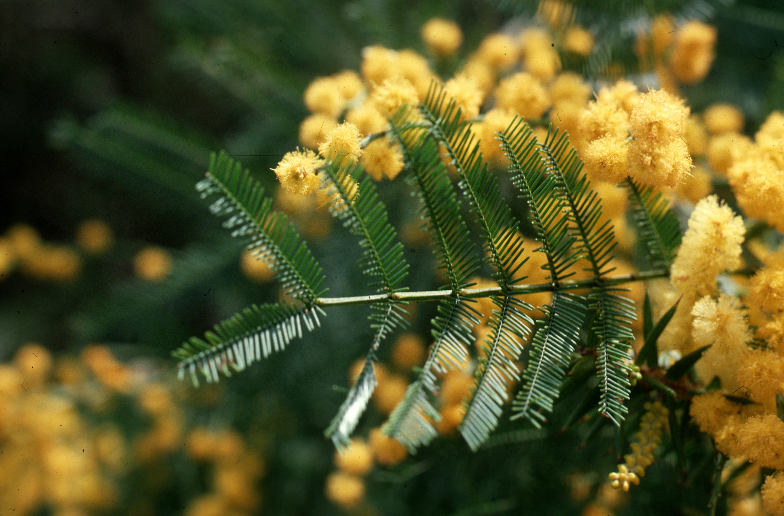 Acacia tree and flowers