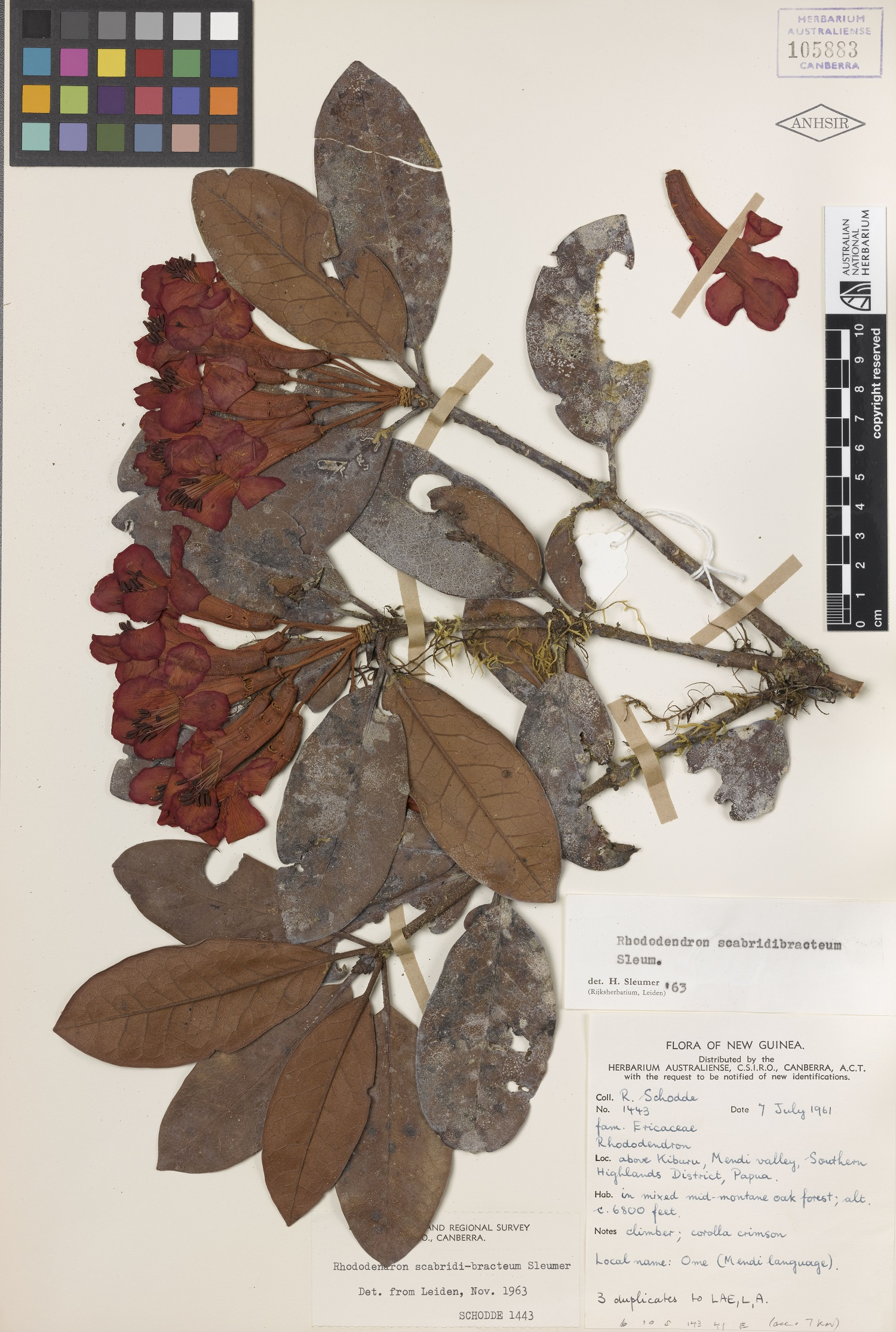 Herbarium sheet showing pressed and dried flowers and leaves of a rhododendron.